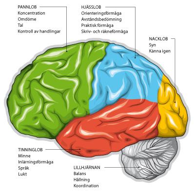 olika delar av hjärnan